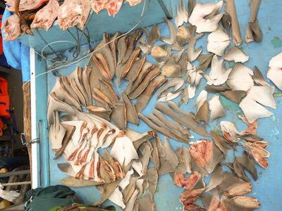 Konfiszierte Haifischflossen (© CI/Photo by Abraham Goram)