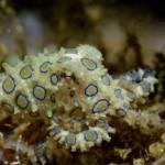 Bluering                       Octopus