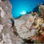 Alor Frogfish