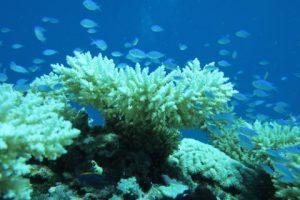 Chagos: 85% gebleichte Korallen, (c) Dan Bayley, ZSL